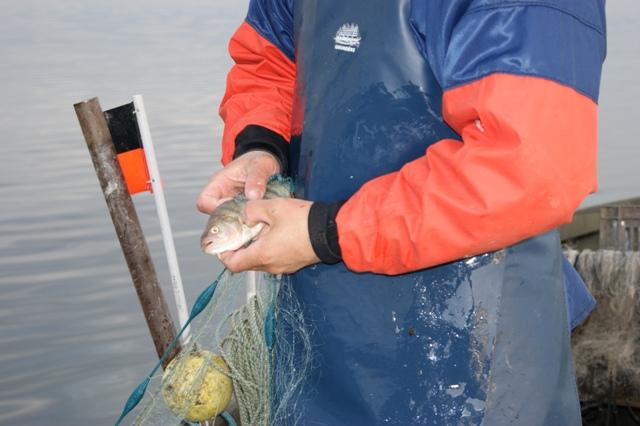 Pêcheur entrain d'enlver un poisson d'un filet.